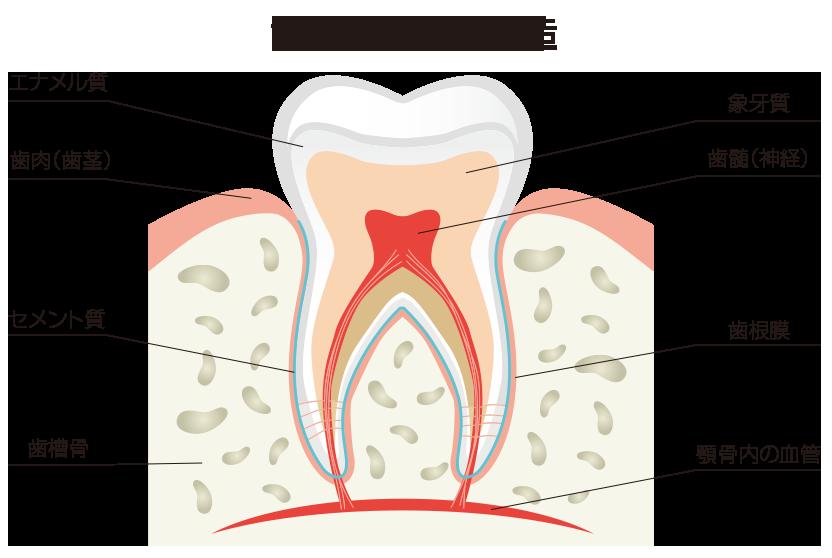 歯の解剖学的構造